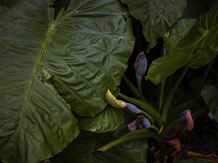 Wild taro | LEICA SUMMICRON 35MM F2 ASPH <br> Click image for more details, Click <b>X</b> on top right of image to close