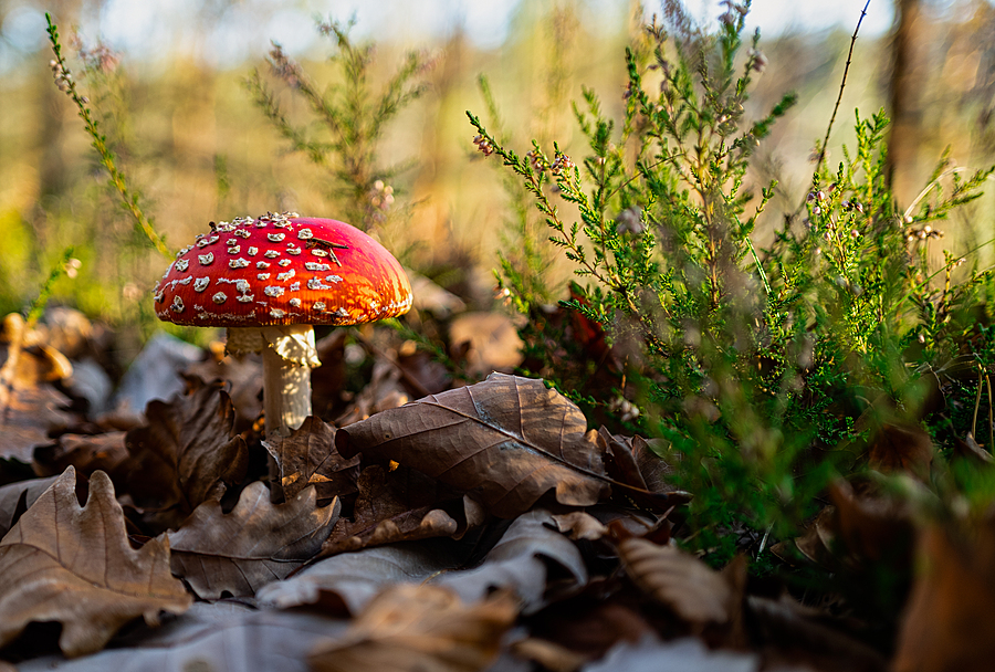 Fliegenpilz - toadstool - amanita muscaria | SUMMILUX 1:1.7/28 ASPH. <br> Click image for more details, Click <b>X</b> on top right of image to close