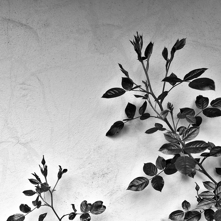 rose leaves on stucco wall | LEICA SUMMICRON 35MM F2 ASPH <br> Click image for more details, Click <b>X</b> on top right of image to close